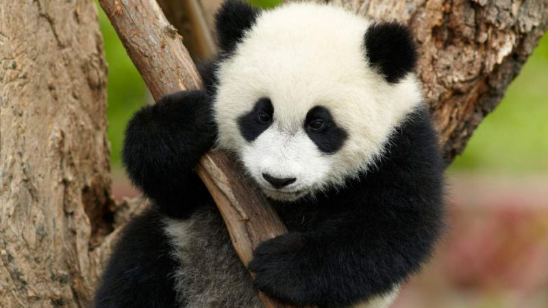 Experience Fascinating Safari at the Chengdu Research Base of Giant Panda Breeding