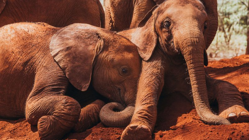 Explore Kenya's Wildlife at the David Sheldrick Wildlife Trust!